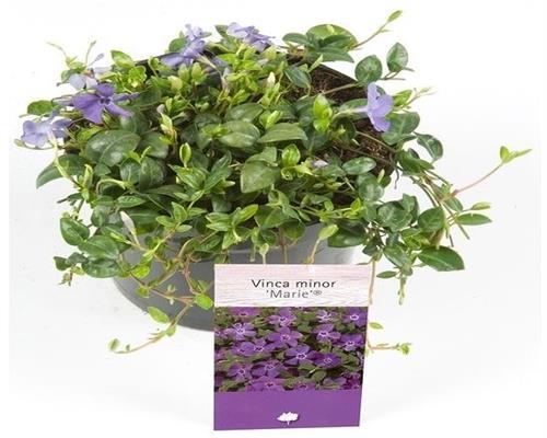 10 Pflanzen Bodendecker Immergrün Vinca minor Blau im 9x9 cm-Topf