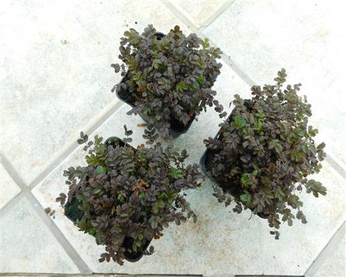 50 st ck acaena microphylla 39 kupferteppich 39 braunrotes stacheln ssche bodendecker ebay. Black Bedroom Furniture Sets. Home Design Ideas
