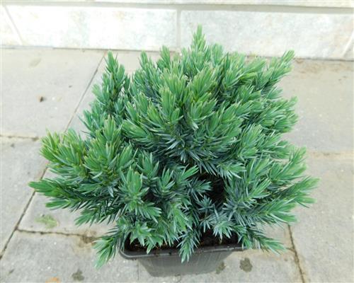 juniperus squam 6 st ck blue star 15 18 blauer zwerg. Black Bedroom Furniture Sets. Home Design Ideas