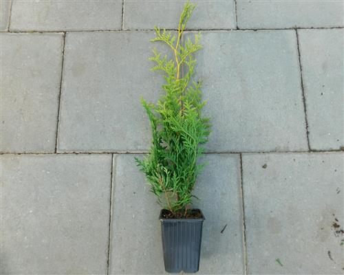 lebensbaum brabant thuja occidentalis 50 st ck lebensbaum 40 50 cm hecke t9x9 ebay. Black Bedroom Furniture Sets. Home Design Ideas