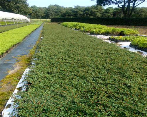 Cotoneaster 100 st ck dammeri queen of carpet zwergmispel bodendecker t9x9 - Cotoneaster dammeri green carpet ...