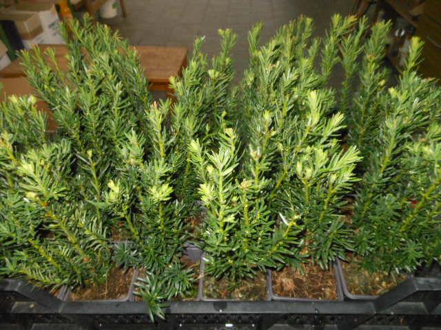 groenland taxus media 25 st ck groenland bechereibe 20 30 t9x9 heckenpflanze. Black Bedroom Furniture Sets. Home Design Ideas