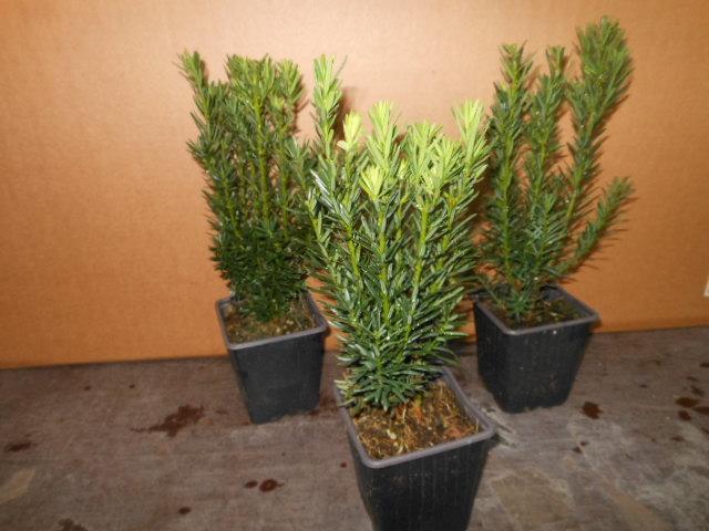 taxus media hillii s uleneibe 50 st ck heckenpflanze 15 25 cm t9x9 cm ebay. Black Bedroom Furniture Sets. Home Design Ideas