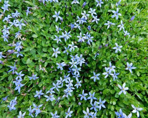 Isotoma Fluviatilis Online Bestellen! Begehbare Bodendecker Rasenersatz Pflanzen