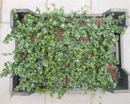 lonicera crassifolia little honey 6 st ck kriechende heckenkirsche t9x9 ebay. Black Bedroom Furniture Sets. Home Design Ideas