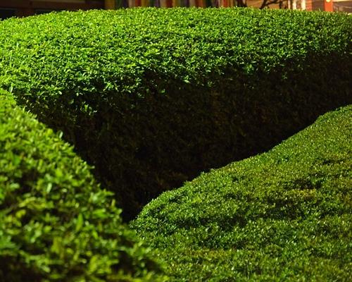 buxus sempervirens 50 st ck bux 8 15 buchsbaum hecken buchs pflanzen ebay. Black Bedroom Furniture Sets. Home Design Ideas