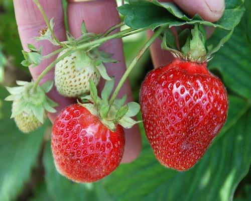 erdbeerpflanzen 20 fragaria senga sengana t7x7 erdbeeren. Black Bedroom Furniture Sets. Home Design Ideas
