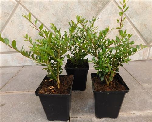 buxus ilex crenata stokes ersatz f r buchsbaum g nstig online kaufen. Black Bedroom Furniture Sets. Home Design Ideas
