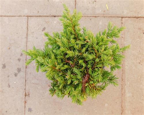 juniperus com 1 st ck green carpet krich wacholder 30 45. Black Bedroom Furniture Sets. Home Design Ideas