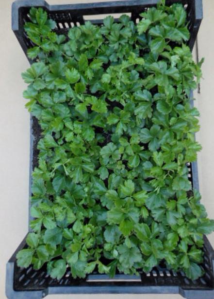 Waldsteinia ternata Golderdbeere 1 Stück  Bodendecker  für Schattenlagen T9x9