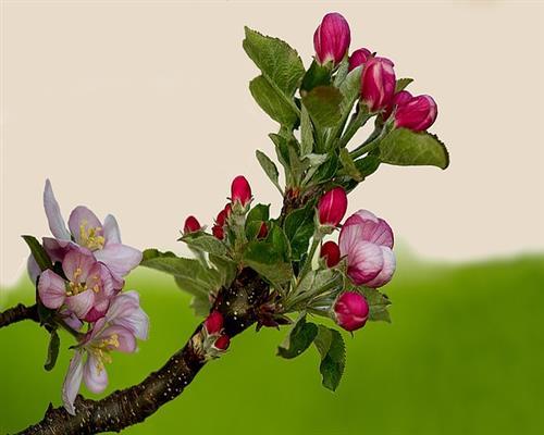 apple_blossom__.jpg