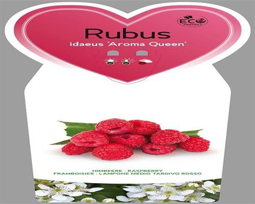 himbeere 1 st ck aroma queen rubus winterhart e bar. Black Bedroom Furniture Sets. Home Design Ideas