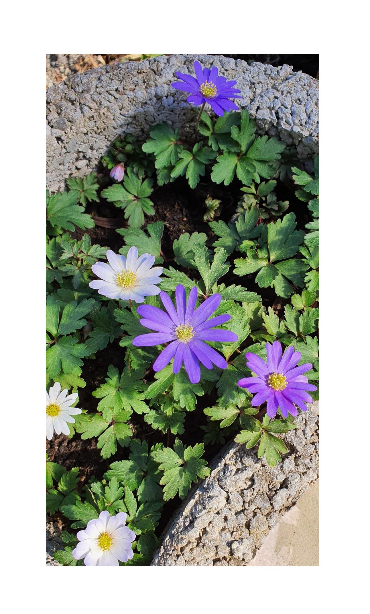 Garten Blumen Schnittblumen Gr/ö/ße 4//5 Zwiebelblumen Florado 25x Kronen-Anemonen Blumenzwiebeln Sylphide Bienen Insekten Hummeln