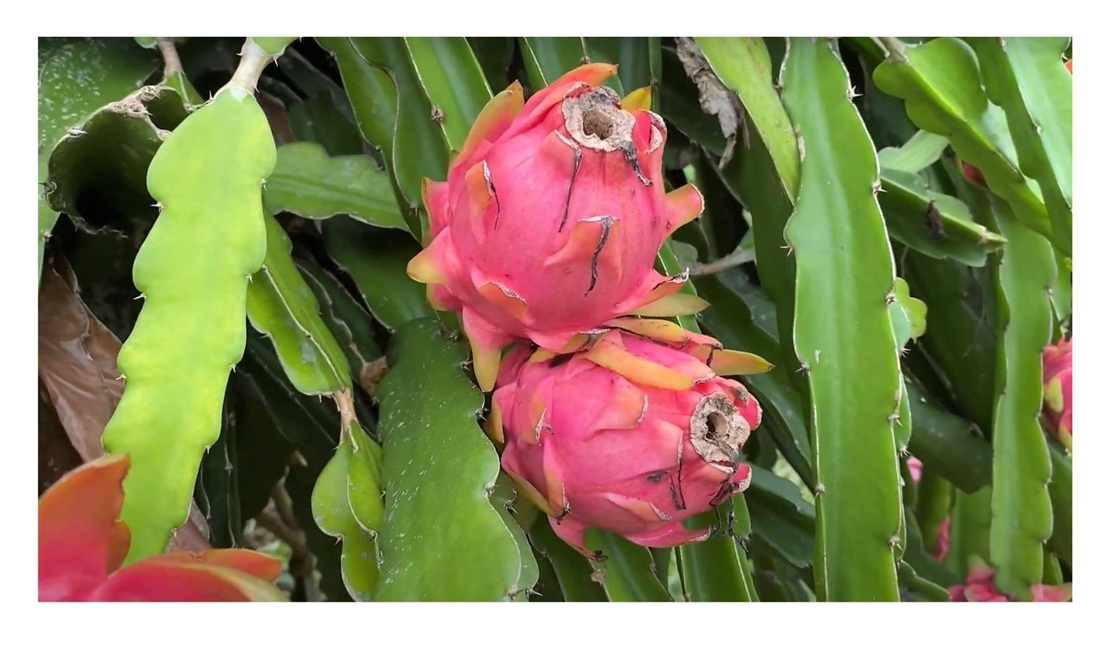 Pitahaya-Frucht wird verwendet, um Gewicht zu verlieren