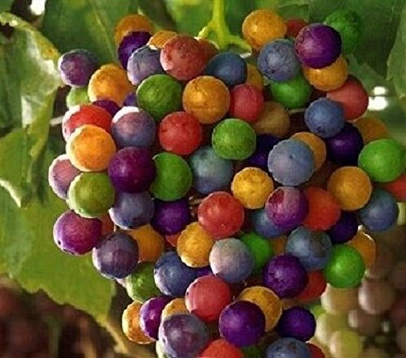 15x Regenbogen Trauben Bunt Samen Saatgut Pflanze Hingucker Obst #140