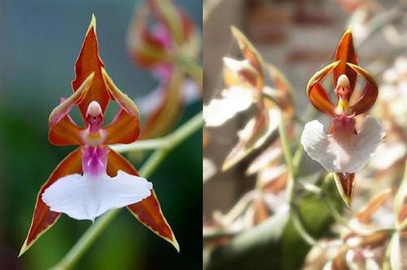 Dettagli su 25x Ballerina Ragno Orchidea Seme Pianta Fiore Pianta da Camera #95