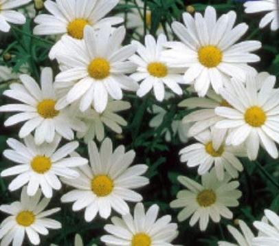 Marigold seeds Erect Alaska 0,5g Бархатцы S0963 Garden decor
