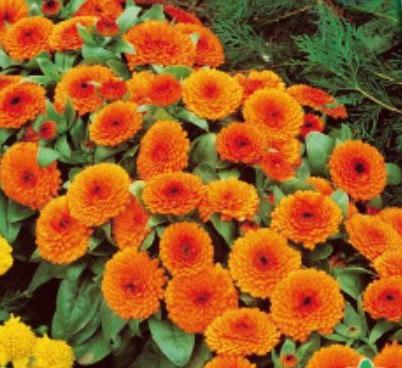 90x Ringelblume Gitana Samen Pflanze Garten Saatgut Neuheit K156