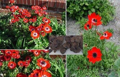 5 x gigante anemone holland fiori da giardino seme più di un anno